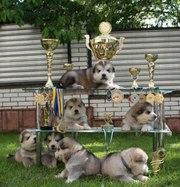 Предлагаются для продажи щенки аляскинского маламута