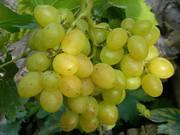 Саженцы винограда большой выбор круглогодично.