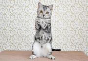 Шотландские котята. Черновцы.